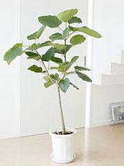 ゴムの木(フィカス)