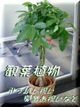 新宿四谷花屋シャムロックの観葉植物 オフィスグリーン