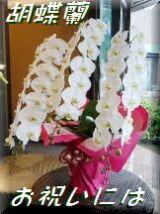 新宿四谷花屋シャムロックの胡蝶蘭 ファレノプシス
