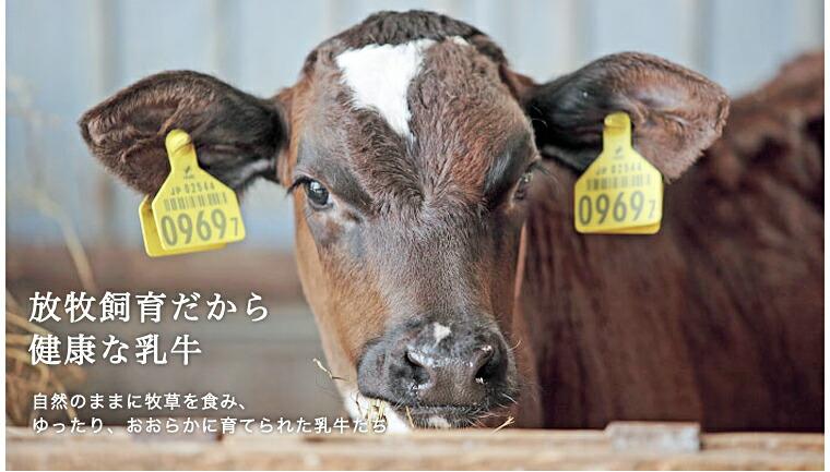 放牧飼育だから健康な乳牛