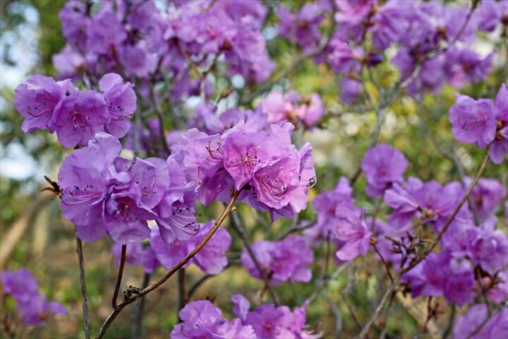 ゲンカイツツジ「紫」