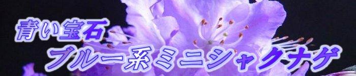 青い宝石ブルー系ミニシャクナゲ