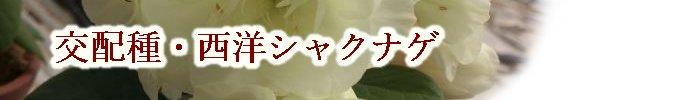交配種・西洋シャクナゲ