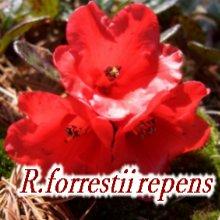 R.forrestii repens