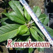 R・macabeanum