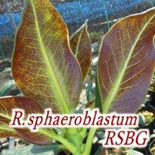 R・sphaeroblastum RSBG