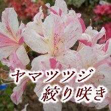 ヤマツツジ絞り咲き