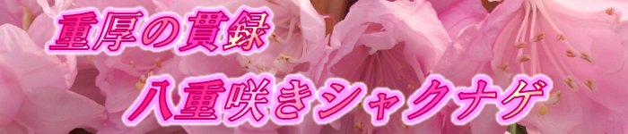 重厚の貫録八重咲きシャクナゲ