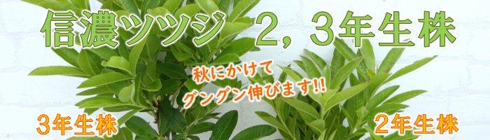 信濃ツツジ2,3年生株