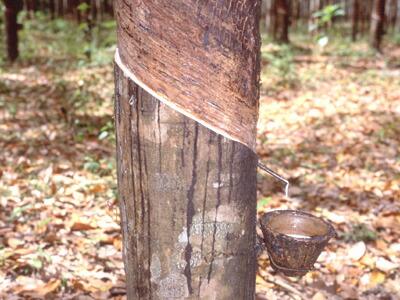 ボディドクター ゴムの木