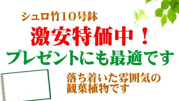 シュロ竹10号鉢激安特価中!