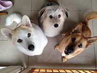 茨城県O様ワンコ)MIXの多頭飼いです。購入のきっかけは3頭のうちの1頭が炎症性腸疾患(IBD