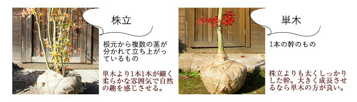株立/株元から複数の茎が分かれて立ち上がっているもの⇒単木よりも1本1本が細くやわらかな雰囲気で自然の趣を感じさせる。単木/1本の幹のもの⇒株立よりも太くしっかりした幹。大きく成長させるなら単木の方が良い。