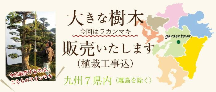 大きな樹木販売いたします(植栽工事込み)九州7県内