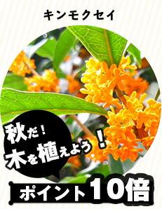 シンボルツリー/キンモクセイ