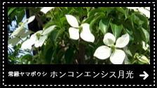 常緑ヤマボウシ・ホンコンエンシス月光