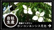 常緑ヤマボウシ ホンコンエンシス月光