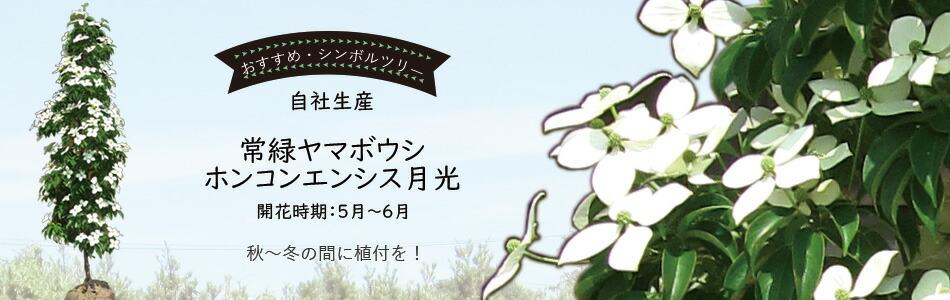 常緑ヤマボウシ/ホンコンエンシス月光
