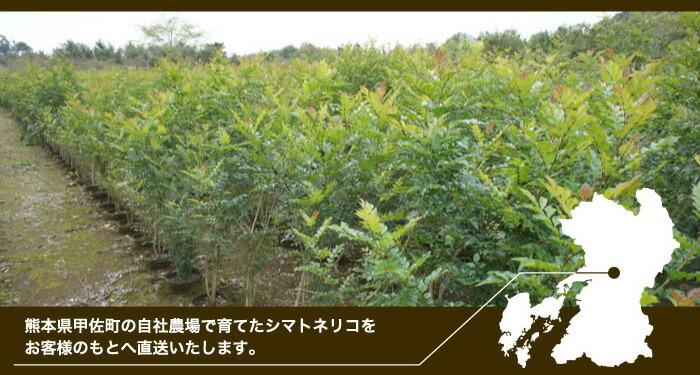 シマトネリコ/四季の姿