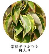 常緑ヤマボウシ/ヒマラヤ