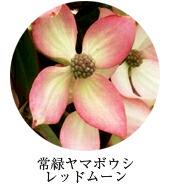 常緑ヤマボウシ/レッドムーン