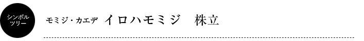 シンボルツリー/イロハモミジ株立