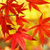 イロハモミジ/紅葉