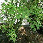 イロハモミジ/庭植え