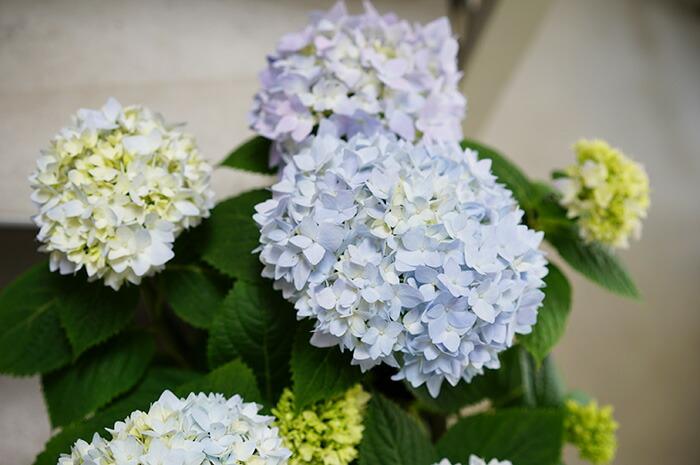 【送料無料】日向の四季咲き紫陽花 エンドレスサマー 5寸 紫陽花の生垣も作れちゃう!生育旺盛で楽しい!