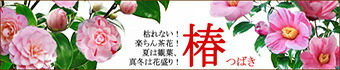 八重咲き 椿