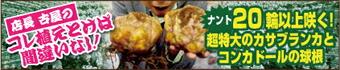大きな球根 カサブランカ コンカドール