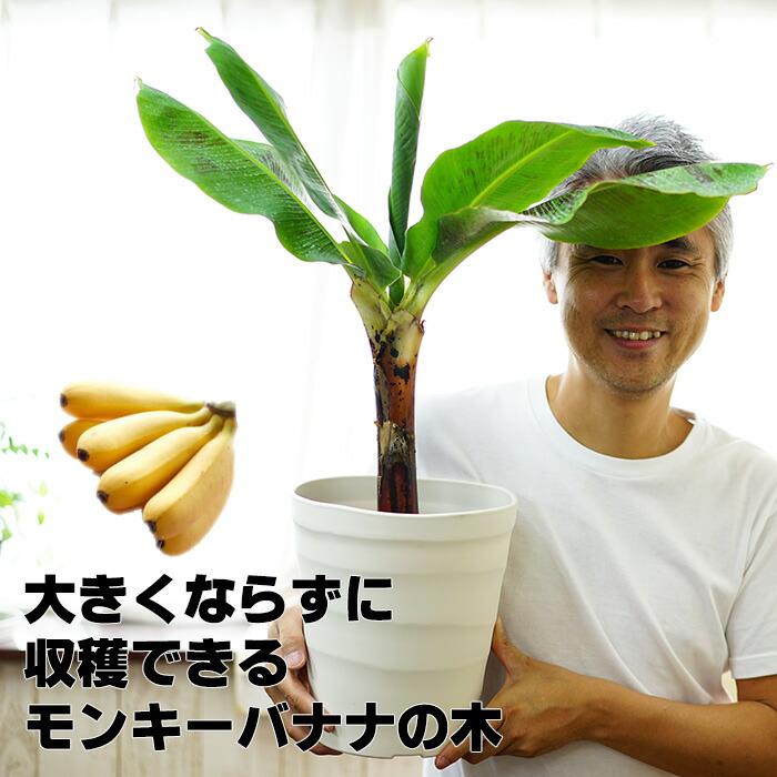 モンキーバナナの苗木