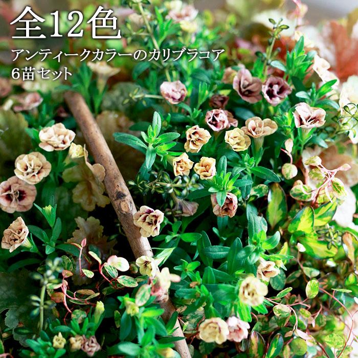 八重咲き カリブラコア アンティーク
