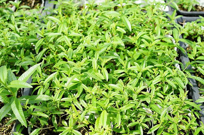 【送料無料】鼻スッキリ!花粉症ハーブ!レモンバーベナ3.5寸10苗セット耐暑性耐寒性多年草