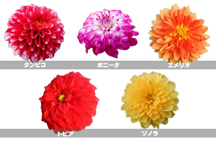 【本州送料無料】真夏もよく咲く! でっかいダリア 全5色 7号大鉢