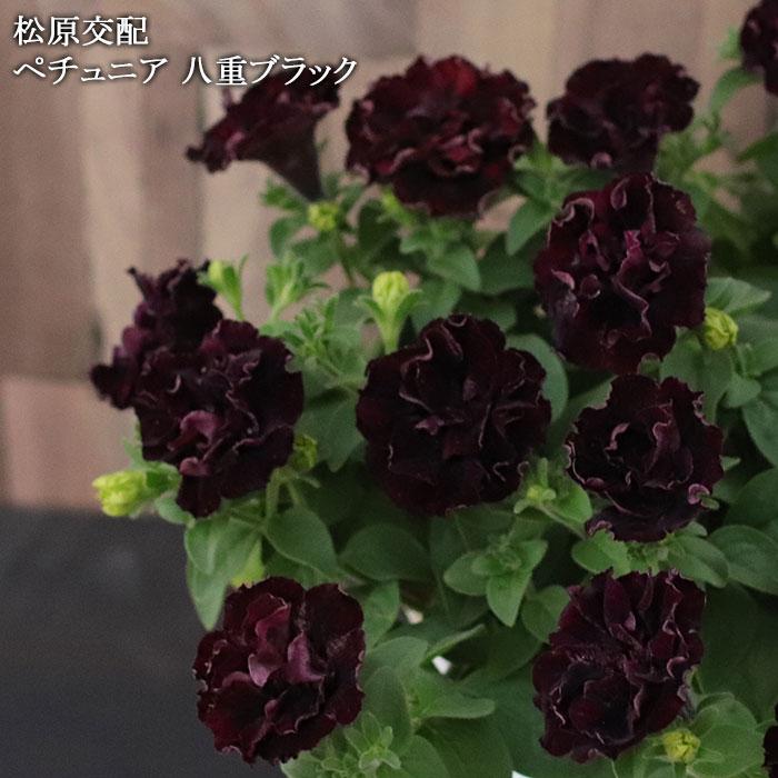 八重咲きペチュニア ブラック