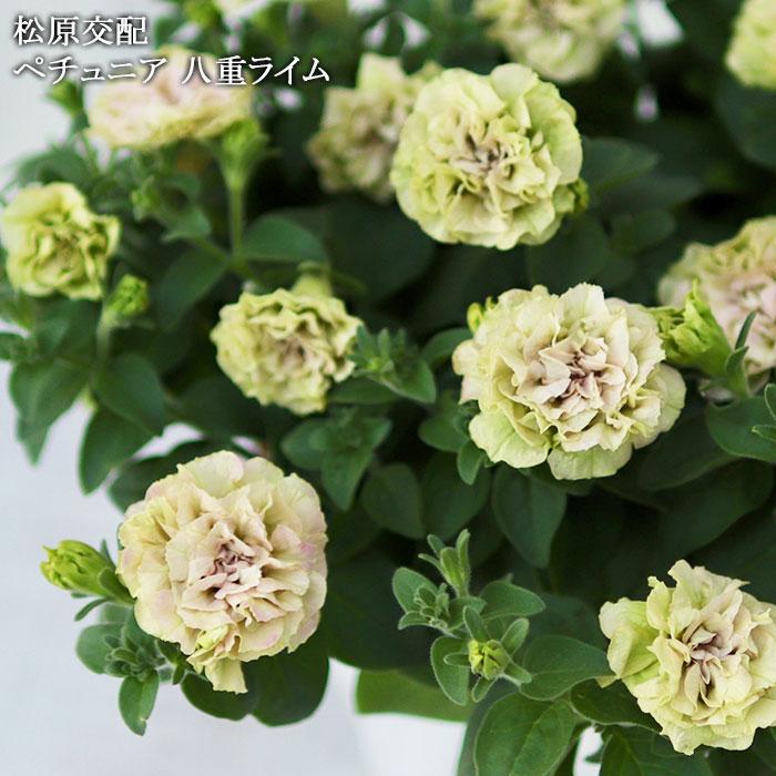 八重咲きペチュニア ライム
