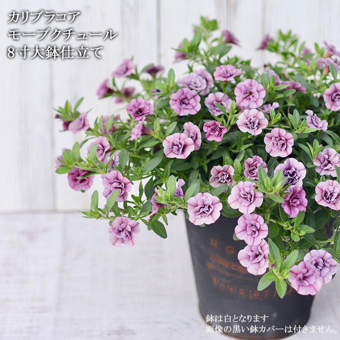 八重咲き カリブラコア モーブクチュール 大鉢