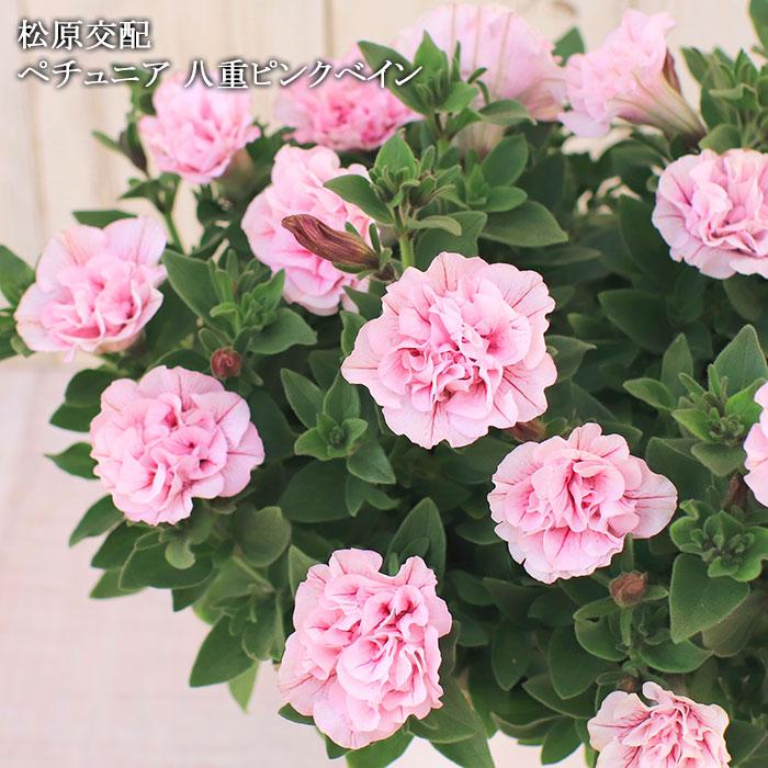 八重咲きペチュニア ピンクべイン