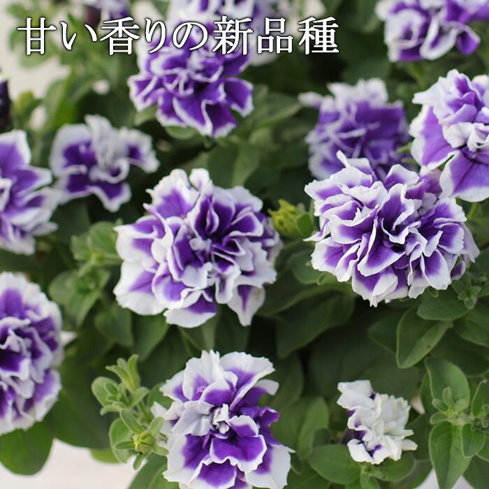 八重咲きペチュニア 香るブルーピコティ
