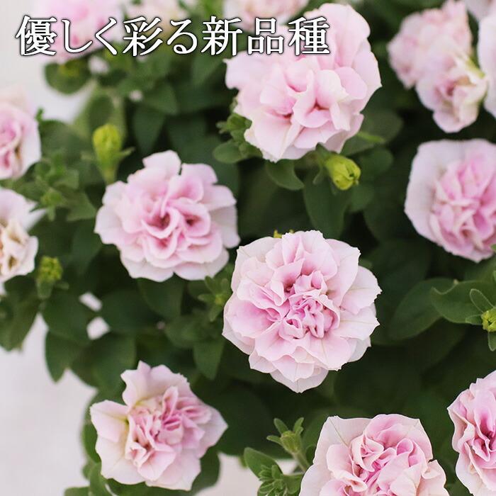 ■八重咲きペチュニア ペールピンク