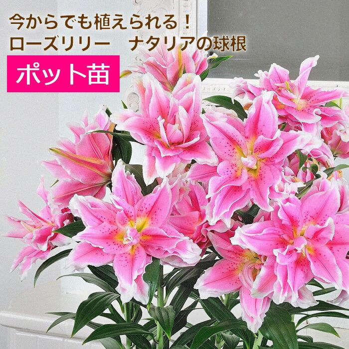 【送料無料】八重咲きユリ ローズリリー ナタリア ポット苗 5苗セット