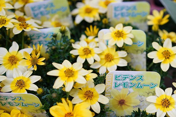 【本州送料無料】ハチミツの香り レモンムーン 3寸ロングポット 12苗セット ビデンス 多年草