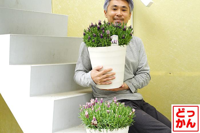 【送料無料】フレンチラベンダー ラベラシリーズ 8号大鉢植え