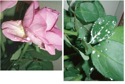 バラを使ったデトックス実験
