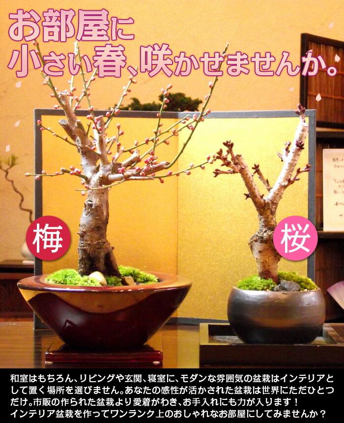 お正月に手作り盆栽飾りませんか?