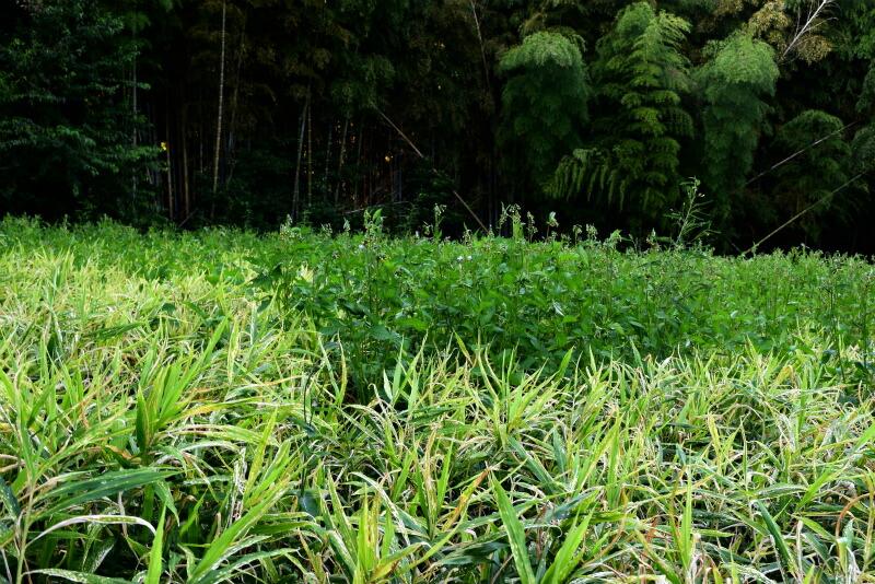 高知県産生姜05