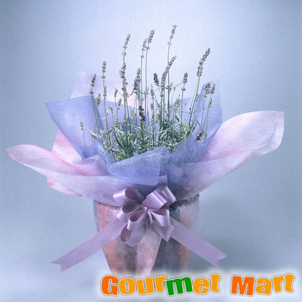 【フラワーギフト】ラベンダー5号鉢植え(鉢花)ハーブの香りが爽やか!ラッピングをしてお届けいたします!