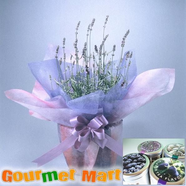 【贈り物ギフト】ラベンダー5号鉢植え(鉢花)と紅茶(選べる4種)セットをラッピングしてお届けいたします!