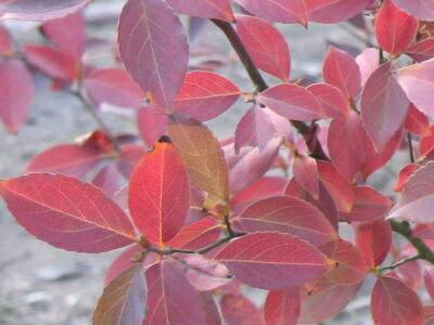 ヒメシャラ(姫娑羅、姫シャラ)紅葉